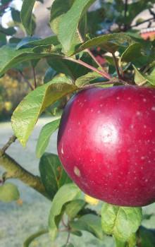 ÄpplePåTräd